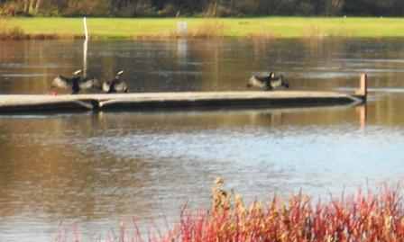Cormorants on the pontoon